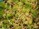 Sempervivum flavipilum
