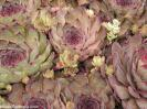 Sempervivum brownii