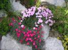 Sortiment :: Dianthus gratianopolitanus
