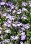 Chaenorrhinum origanifolium ´Blue Dream´