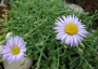 Aster andersonii