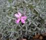 Dianthus arpadianus ssp.pumilus