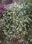 Aster ericoides bílá