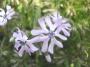 Phlox bifida sv.modrý
