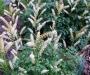 Aruncus aethusifolius
