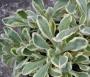 Alyssum saxatile ´Variegata´