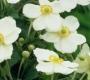 Anemone hupehensis ´Andrea Atkinson´