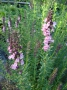 Hyssopus officinalis ´Roseus´