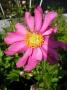 Anemone hupehensis ´Bressingham Glow´