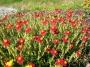Helianthemum hybridum ´Red Orient´
