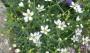 Arenaria ledebouriana