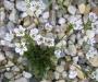 Arenaria lychnidea
