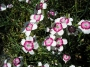 Dianthus deltoides ´Arctic Fire´