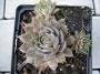 Sempervivum x hybridum ´Cyrham´