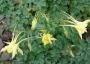 Aquilegia chrysantha ´Yellow Queen