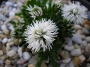 Globularia cordifolia ´Alba´
