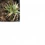 Carex firma ´Variegata´