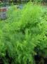 Asparagus officinalis ´Mondeo´