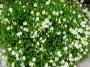 Campanula cochleariifolia ´Alba´