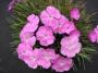 Dianthus gratianopolitanus sv.růžový(Badenia semenáč)