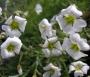 Arenaria pinifolia