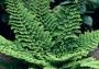 Polystichum setiferum ´Proliferum Plumosum Densum´