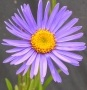 Aster alpinus ´Dark Beauty´