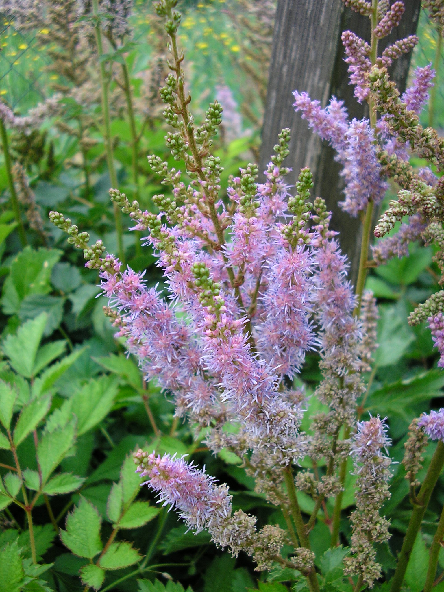 Astilbe chinensis´Pumila