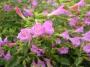 Calamintha grandiflora