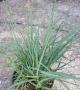 Carex panicea ´Pamira´