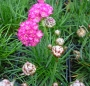 Armeria maritima ´Morning Star Deep Rose´