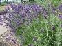 Lavandula angustifolia ´Hidcote Blue Strain´