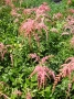 Astilbe x arendsii ´Red Charm´