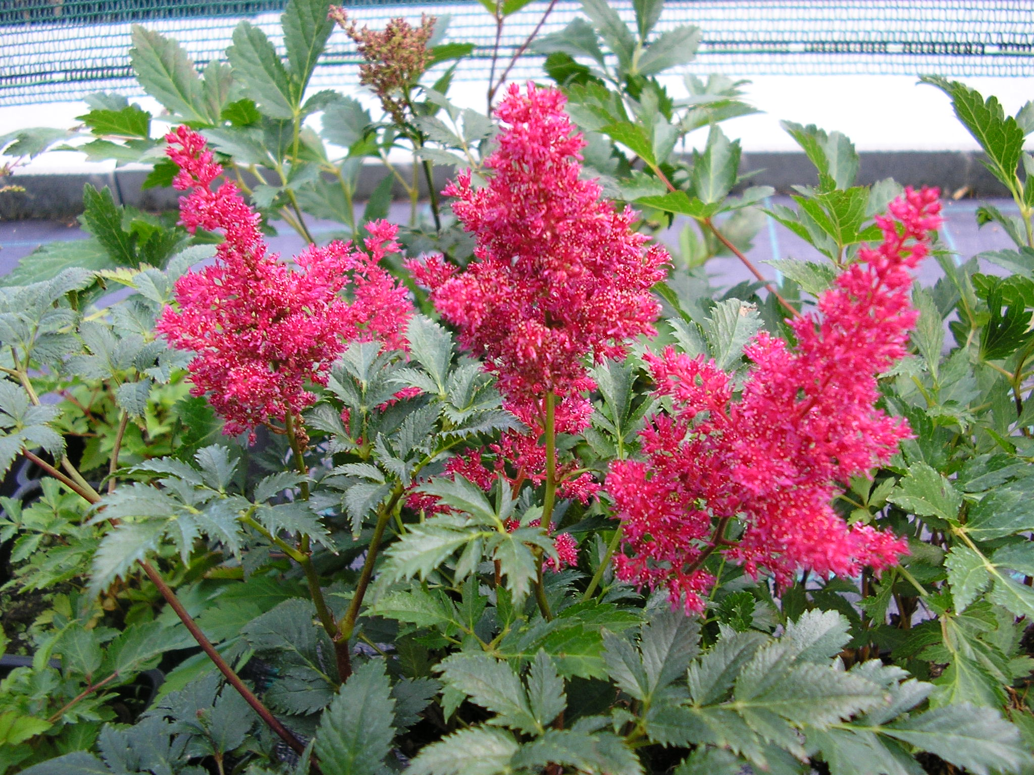 Astilbe japonica´Montgomery´