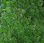 Azorella trifurcata ´Minima´