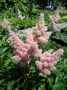 Astilbe x arendsii ´Sister Theresa´