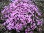 Phlox subulata ssp.brittonii´Rosea´