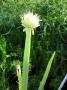 Allium fistulosum - cibule sibiřská