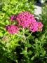 Achillea millefolium ´Rozárka´