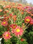 Chrysanthemum x hortorum brozová