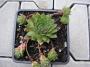 Sempervivum x hybridum ´Alpha´