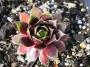 Sempervivum x hybridum ´Cherry Tart´