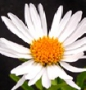 Aster alpinus ´White Beauty´