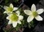Anemone multifida var.magellanica