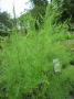 Asparagus officinalis ´Pacific Purple´