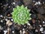 Sempervivum x hybridum ´Butterfly´