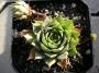 Sempervivum x hybridum ´Charm Spoon´