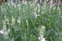 Lavandula angustifolia ´Ellegance Snow´