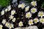 Delosperma alpina