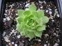 Sempervivum montanum ssp. burnatii